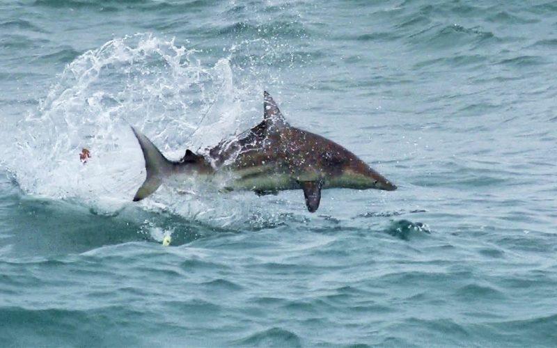 Topwatern auf Blacktip Sharks