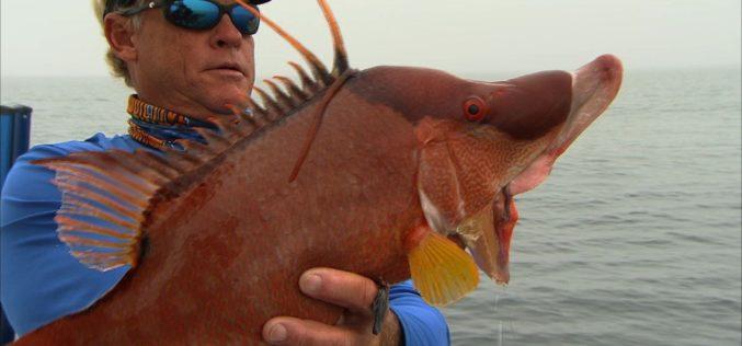 Auf der Jagd nach dem Hogfish