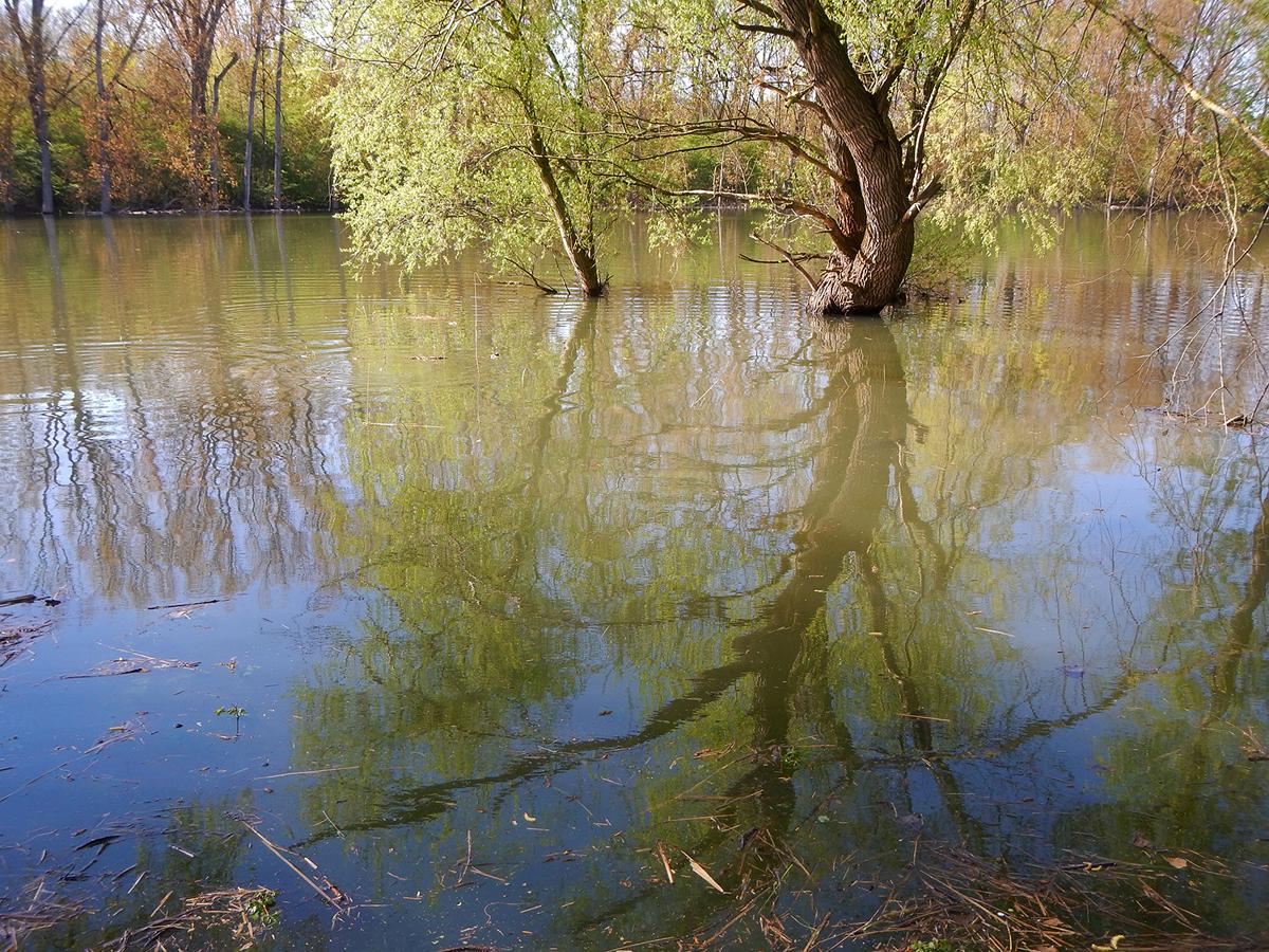 Hochwasser-Stimmung am Altrhein – teilweise laden ganze Wälder zum fischen ein