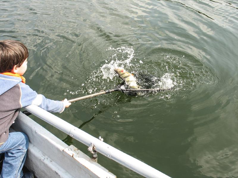 Beim Spinnangeln gefangen: Großer Flussbarsch