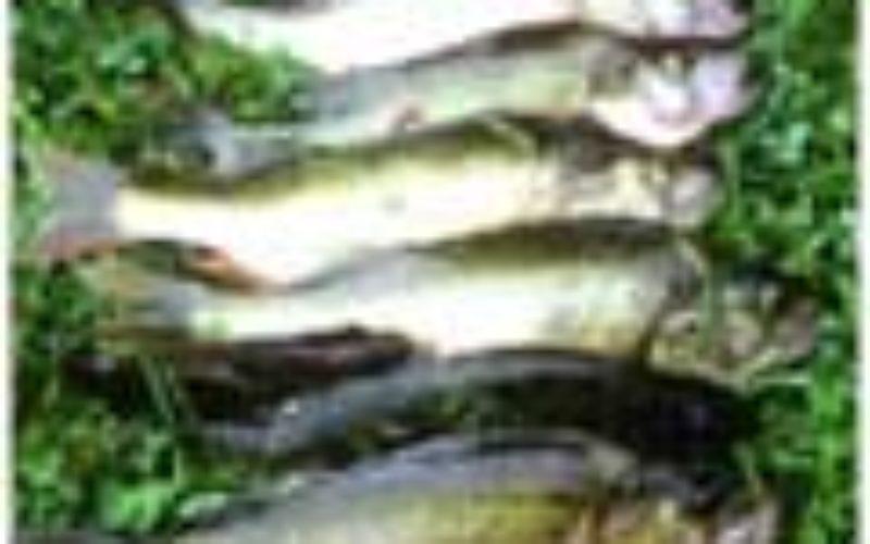 Fangen Angler mehr als Berufsfischer?
