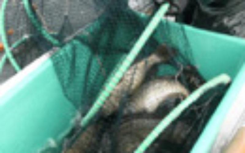 Reusen-Befischung am Edersee 2013